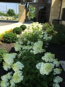 Low maintenance shrubs for your garden buck and sons for Low growing low maintenance shrubs